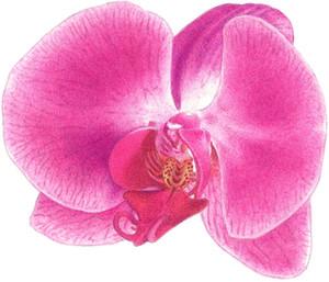 Phalaenopsis02s