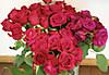 Rose03s